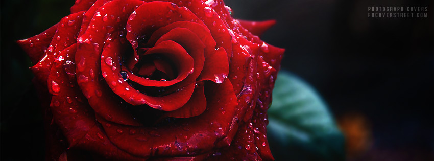red-rose-photo